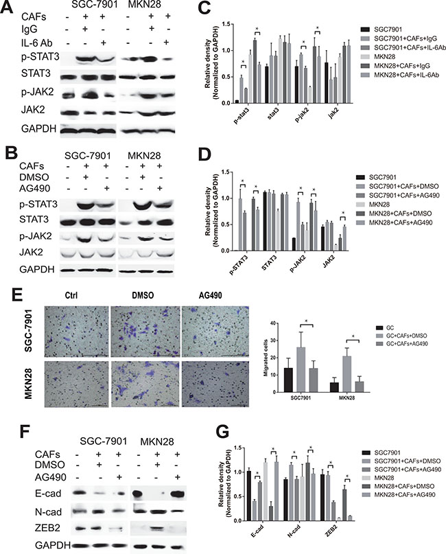 CAFs-derived IL-6 enhances the migration and EMT of gastric cancer cells via the activation of JAK2/STAT3 pathway.