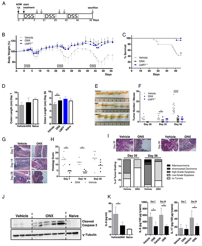 Treatment with ONX 0914 suppresses AOM/DSS-induced colorectal tumor formation.