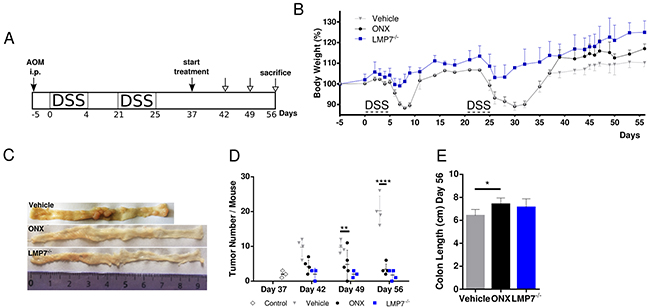 Treatment with ONX 0914 suppresses growth of already established tumors in a therapeutic setting after cessation of inflammation induction.