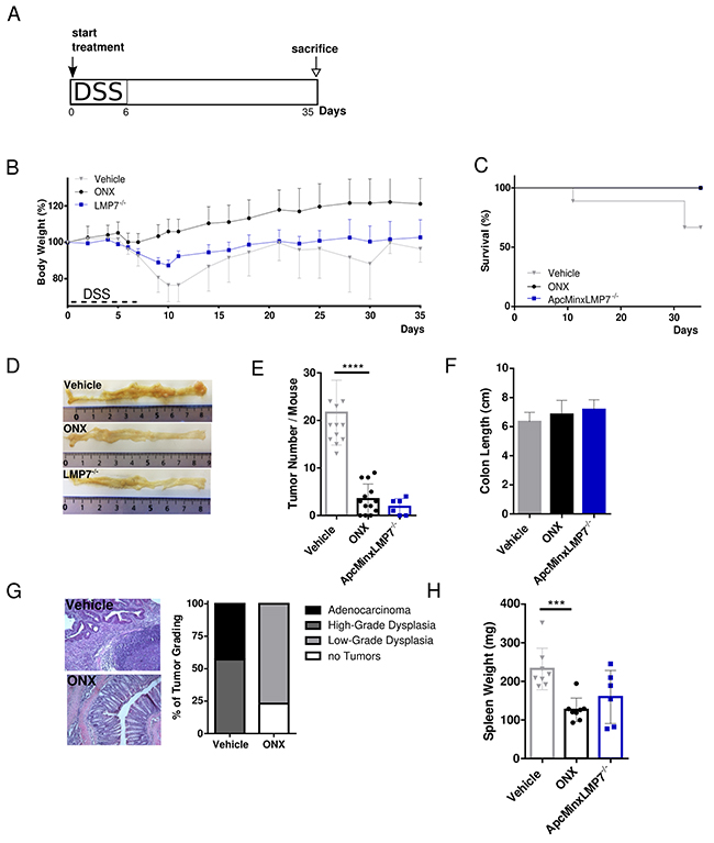 Treatment with the LMP7 inhibitor ONX 0914 suppresses intestinal tumorigenesis in ApcMin/+ mice.
