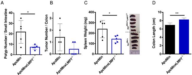 Reduced intestinal tumor burden in ApcMin/+LMP7-/- mice.