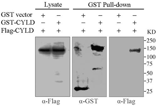 GST pull-down assays to analyze CYLD intermolecular interaction.