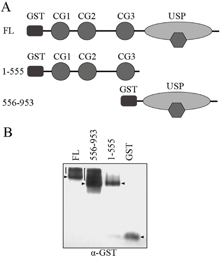 Native PAGE electrophoresis analysis for CYLD complex formation.
