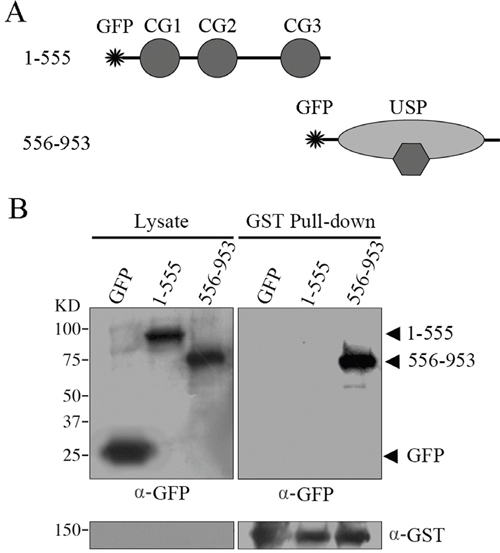 GST pull-down assays to examine the domains responsible for CYLD intermolecular interaction.