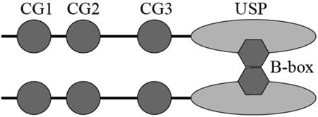Schematic illustration of proposed CYLD dimerization via the B-box module.