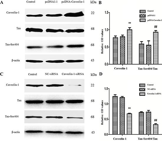 Oncotarget | MiR-124-3p attenuates hyperphosphorylation of