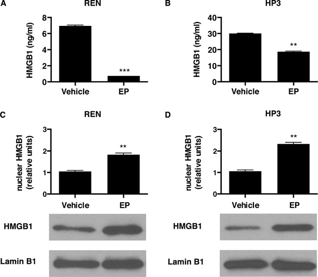 EP influences HMGB1 secretion and cellular localization.