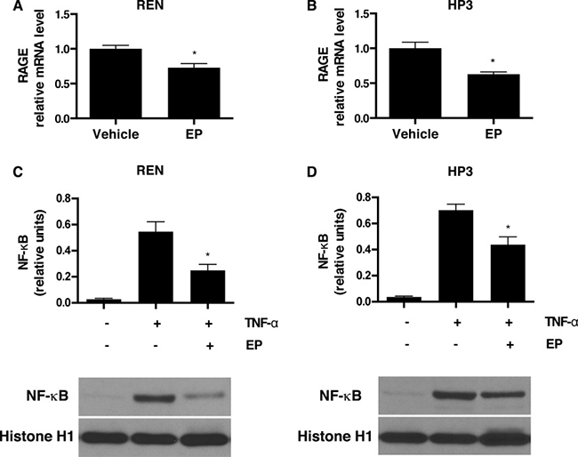EP inhibits RAGE expression and NF-κB nuclear translocation.