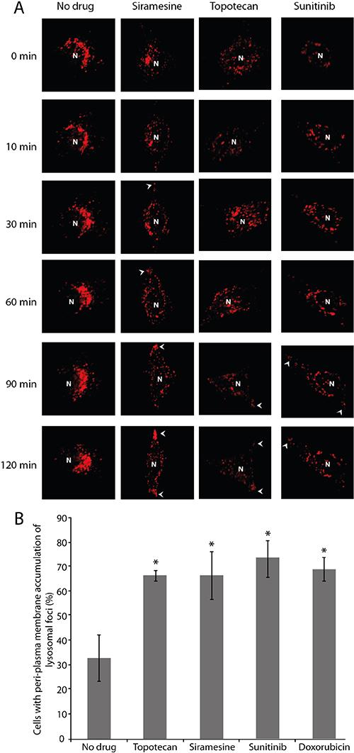 Drug-induced lysosomal translocation towards the plasma membrane.