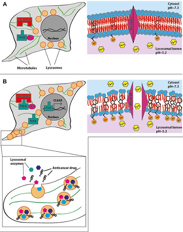 A summary model for drug-induced lysosomal exocytosis.