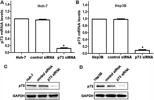 Knockdown of p73 expression in HCC cells at 24 h after siRNA transfection.