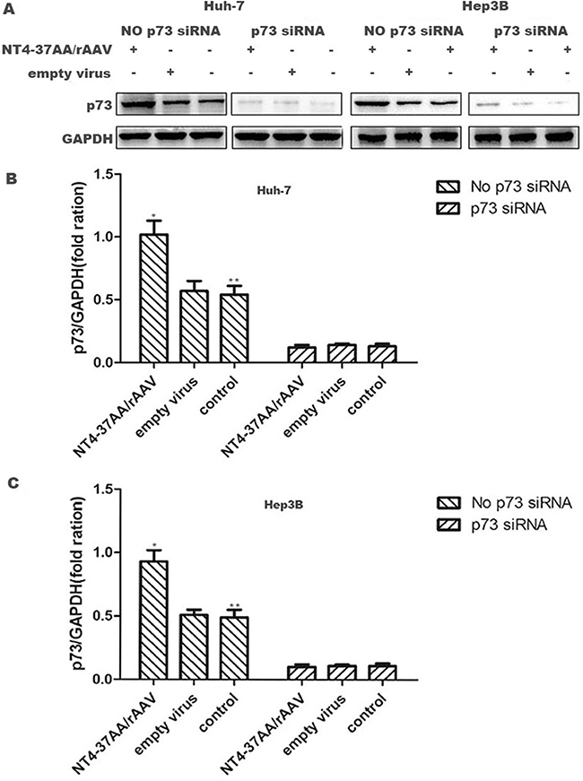 Transfection of NT4-37AA/rAAV increased the expression of p73 protein in HCC cells.