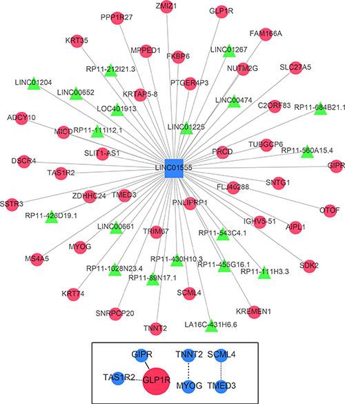 Gene network of the correlative genes of LINC01555.