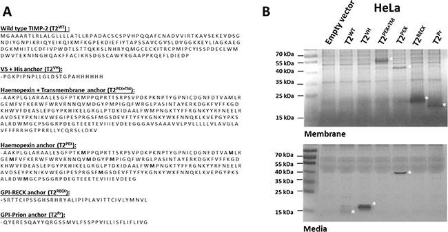 Oncotarget | Ensnaring membrane type 1-matrix metalloproteinase (MT1