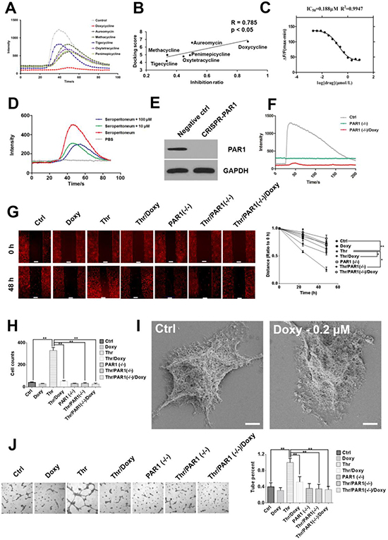 Doxycycline inhibits PAR1 and effectively decreases cancer cell malignancy.