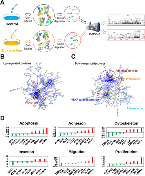 Differentially expressed proteins evaluated using multi-dimensional liquid chromatography-tandem mass spectrometry revealed key biological functions influenced by doxycycline.