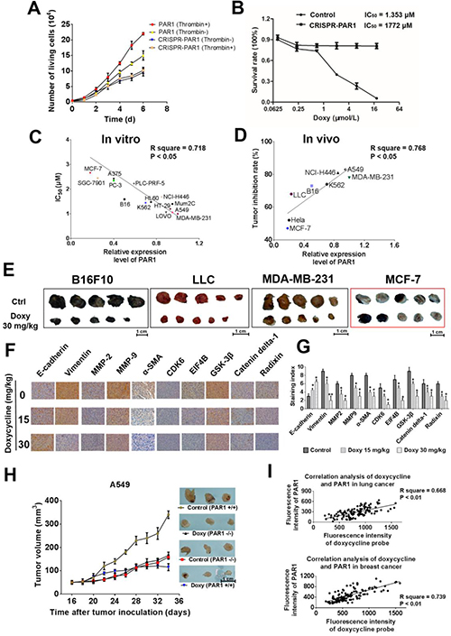 Doxycycline shows stronger inhibition and anti-tumor activity on cells with higher PAR1 expression.