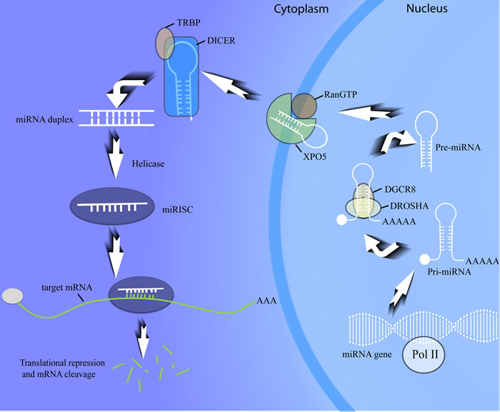 MiRNA biogenesis procedure.