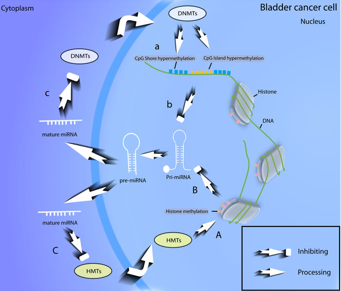 Feedback loop of epigenetic modifications of miRNAs in BCa.
