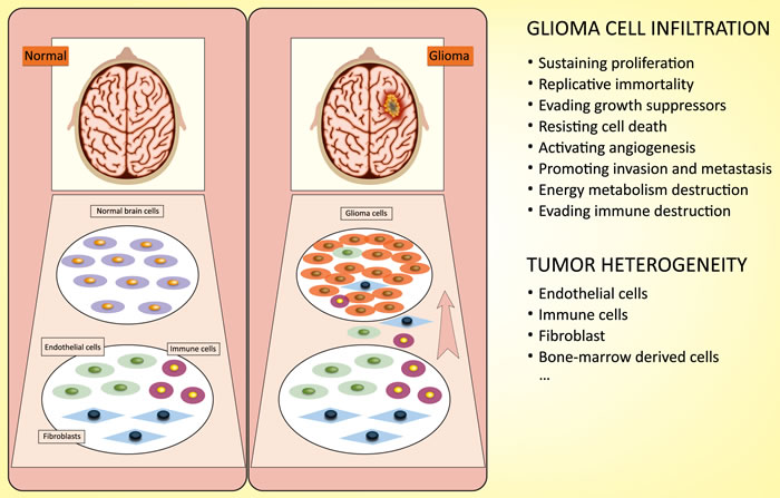 Characterization of glioma cells: infiltration and heterogeneity.