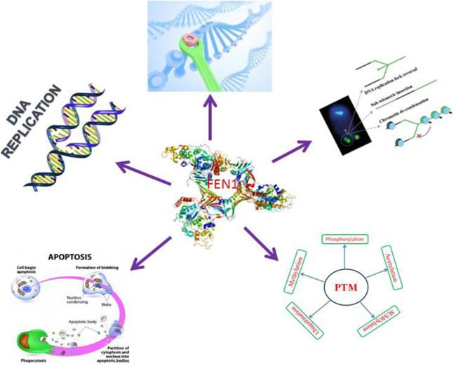 FEN1 central role in cellular DNA metabolism.
