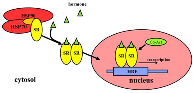 Regulation of gene expression by steroid hormone receptors.