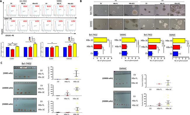 HBx-ΔC1 expressing cells possessed enhanced CSC properties.