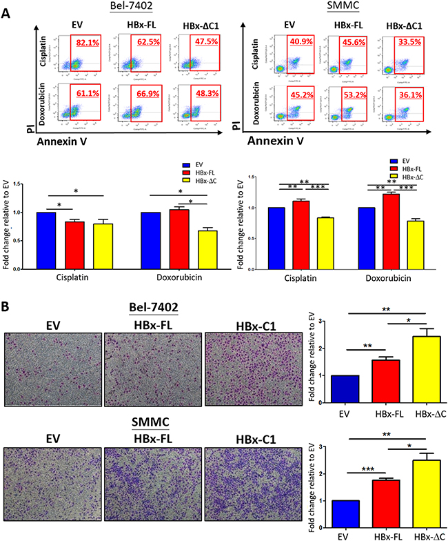 HBx-ΔC1 conferred resistance to chemotherapeutic drugs and enhanced cell migration.