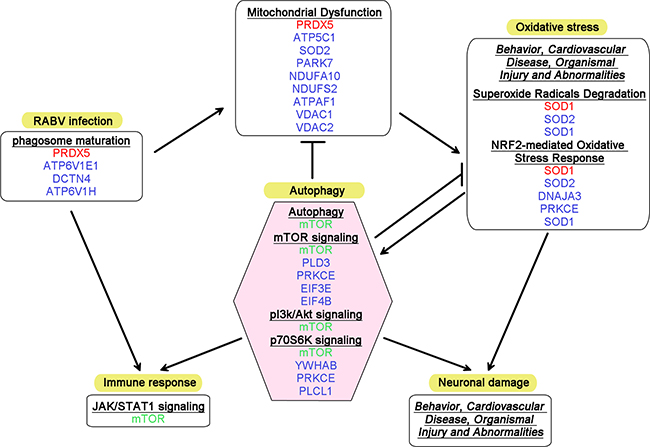 Diagram summarizing the altered canonical pathways and networks associated with autophagy in RABV infection.