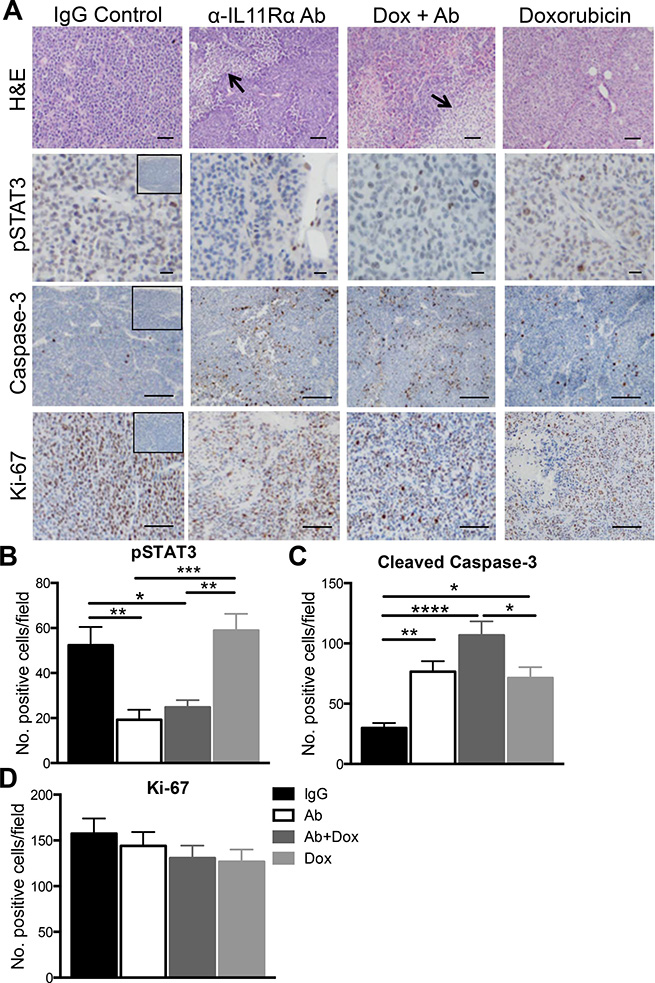 The effect of anti-human IL11Rα antibody combination treatment with doxorubicin on AN3CA xenograft tumour morphology in vivo.