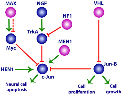Activation of the neuronal precursor cell pathway in paragangliomas/pheochromocytomas by mutations in Group 1 and 2 genes.