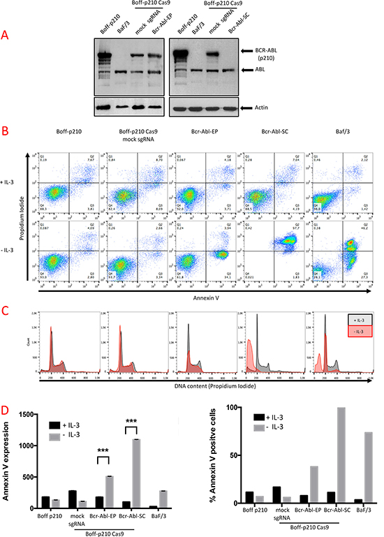 Functional analysis of Boff-p210-edited cells.