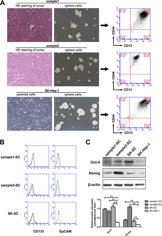 SCs derived from two HCC samples and SK-Hep-1 cells represent a group of CD13+CD44+ cells, which preferentially express stem cell-associated genes.