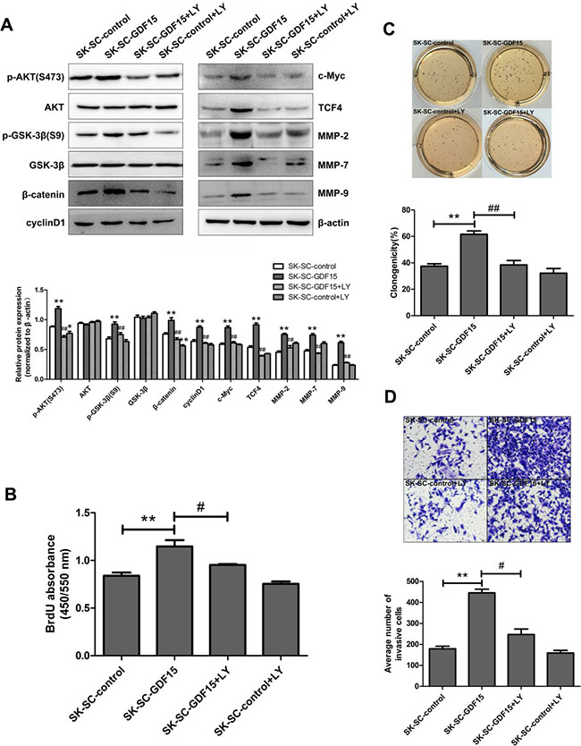Blocking AKT/GSK-3β/β-catenin signaling pathway suppresses GDF15-driven proliferation, colony formation and invasion of SCs.