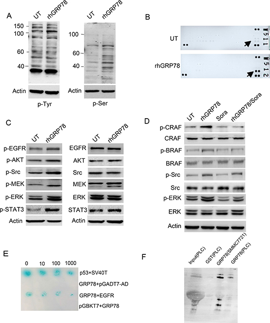 Secreted GRP78 interacted physically with EGFR and activated EGFR downstream signaling.