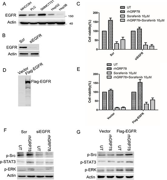 EGFR determines the response to sorafenib in HCC cells.