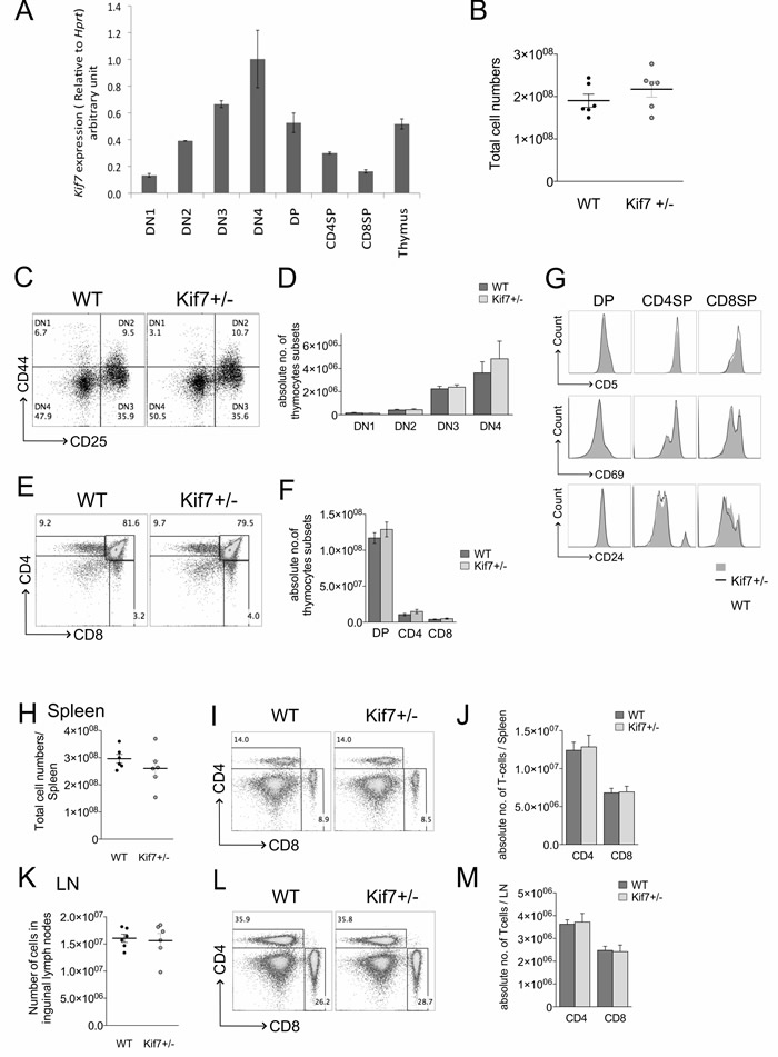 Thymocytes develop normally in Kif7+/- mice.