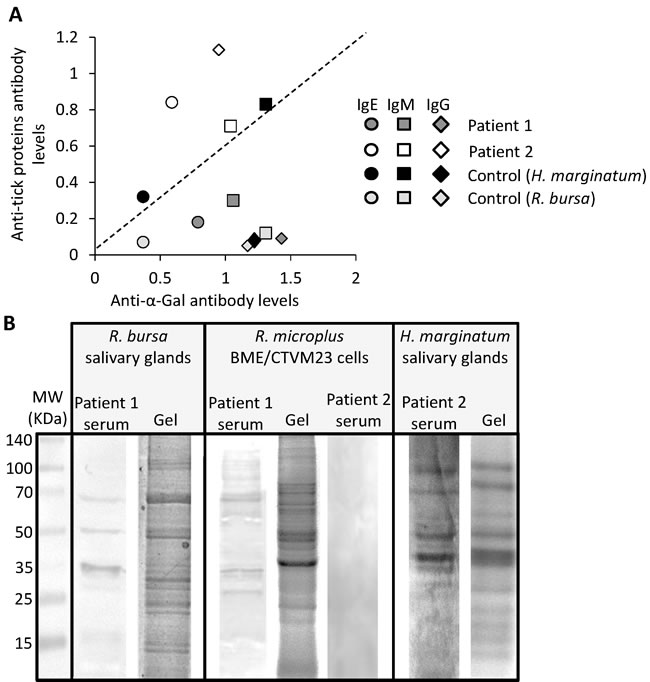 Patient-specific antibody response to tick species responsible for the reported anaphylactic reaction to tick bite.
