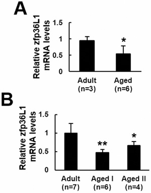 ZFP36l1 expression in the femurs and bmMSCs of adult and aged rats.