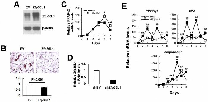 ZFP36L1 regulated adipogenic differentiation of 3T3-L1 preadipocytes.