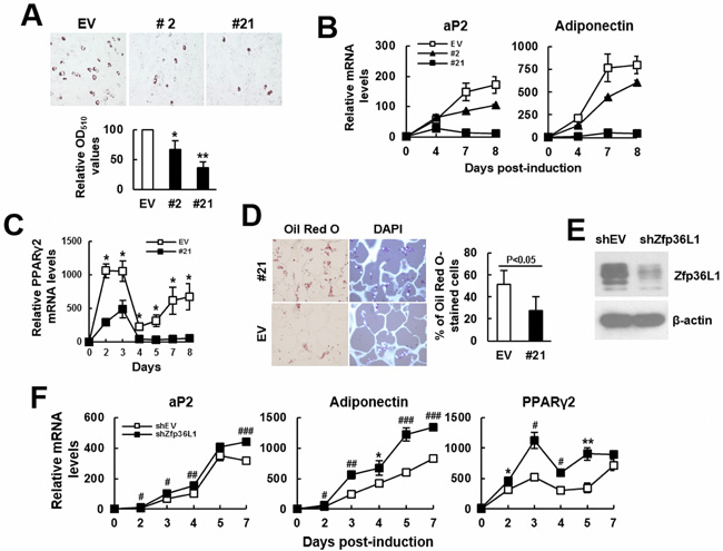 ZFP36L1 regulated adipogenic differentiation of C3H10T1/2 cells.