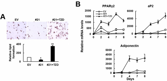 TZD prevented ZFP36L1 from inhibiting adipogenic differentiation of C3H10T1/2 cells.