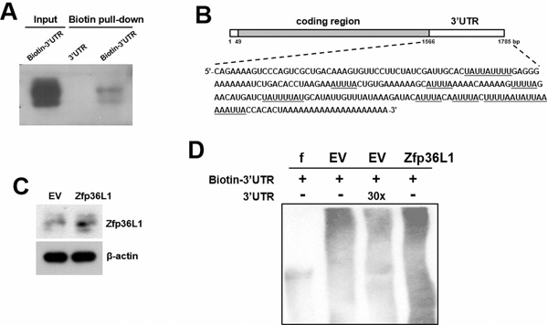 Interactions of ZFP36L1 and Pparγ2 transcripts.
