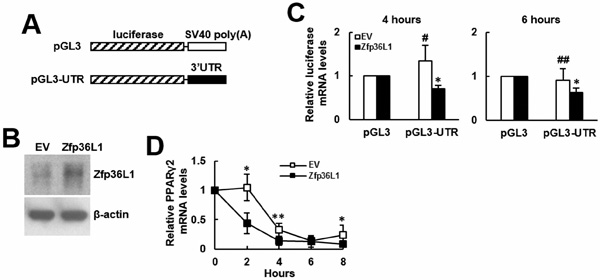 Binding of ZFP36L1-containing protein complexes on the 3'UTR of Pparγ2 mRNA down-regulated gene expression.