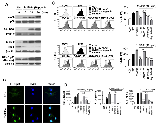 Involvement of the ERK1/2 and p38 but not JNK pathways in Rv2299c protein-induced maturation of DCs.