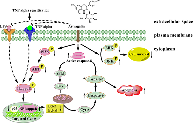 A proposed signaling pathway by which AG induces cell death in NSCLC cells.