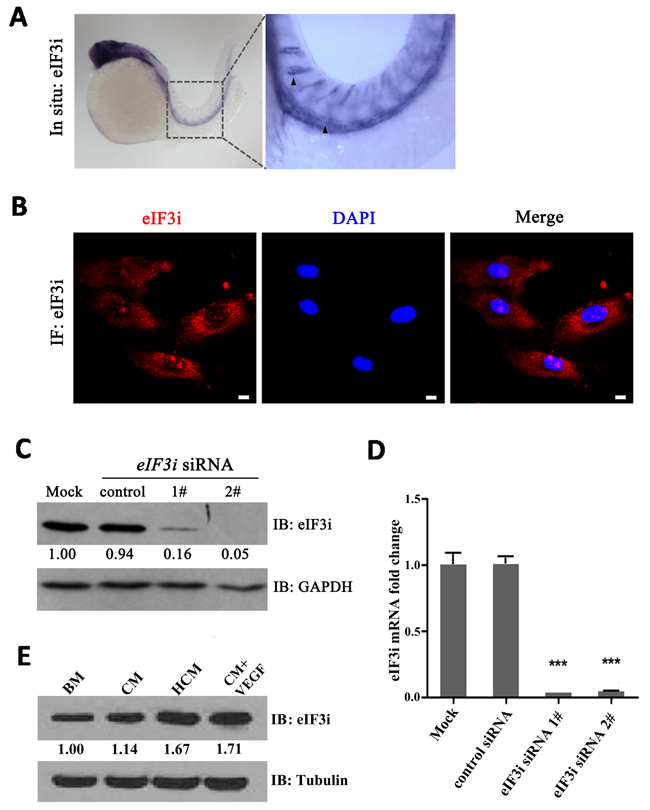 eIF3i is expressed in zebrafish and mammalian endothelial cells.
