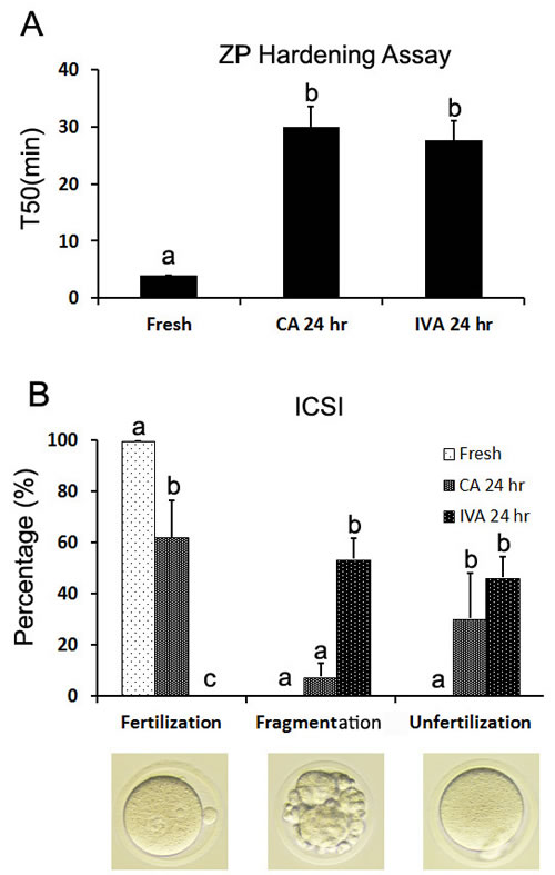 The effects of caffeine on the ZP hardening and fertilization by ICSI during oocyte aging.