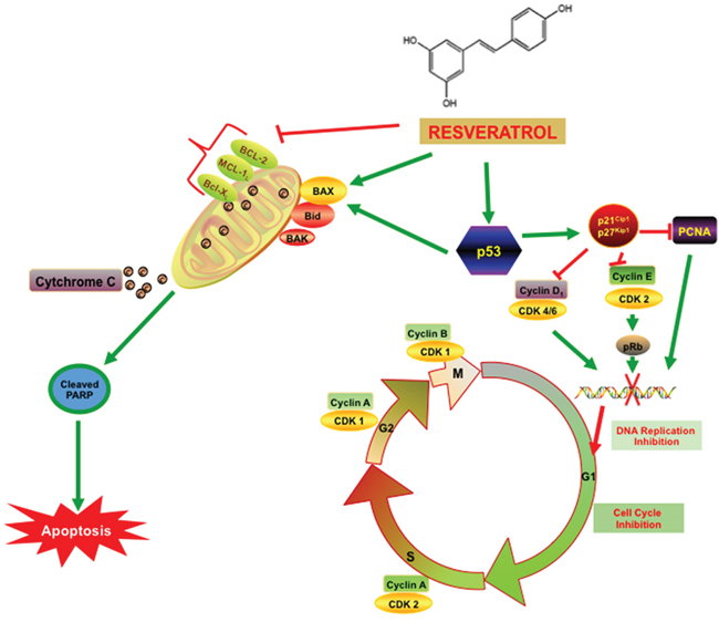 Resveratrol inhibits PCa cell proliferation via modulating molecular pathways involved in cell cycle progression and apoptosis.