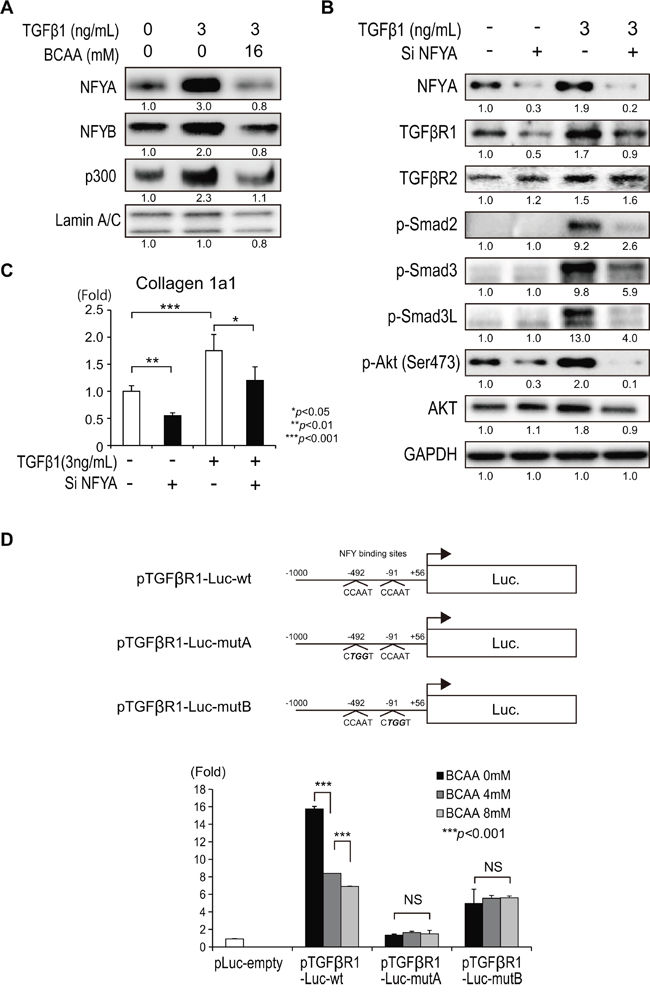 Regulation of TGF-β1 signaling by the transcription factor NFY.